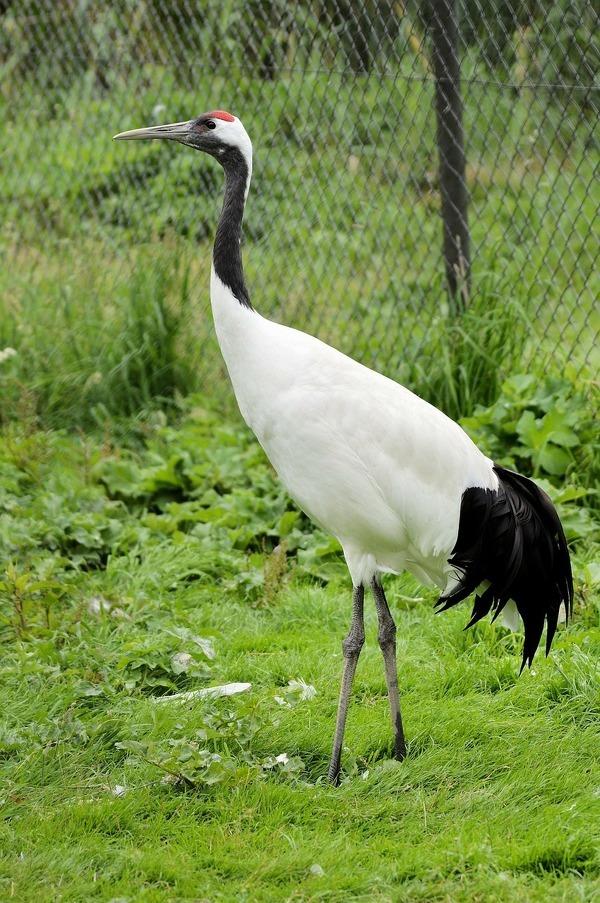 丹頂鶴のように、踊りで愛情表現する動物も多い
